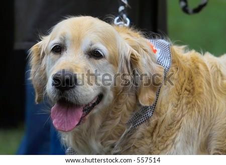Golden Labrador retriever - stock photo