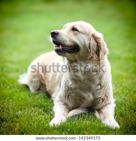 Golden Labrador retriever on green grass - stock photo
