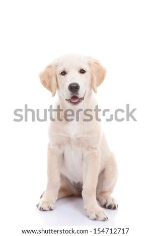 Golden labrador retriever puppy - stock photo