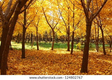 golden leaves at autumn - stock photo