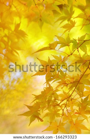 Golden leaves of japanese maple tree and abstract autumnal background - stock photo