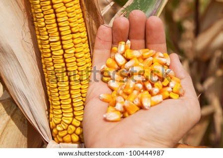 golden maize in hand over field - stock photo