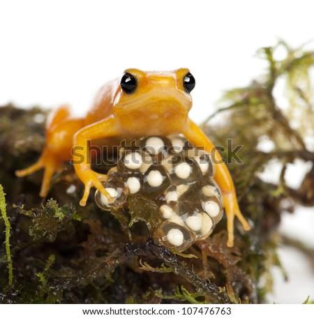 Golden Mantella protecting her eggs, Mantella aurantiaca, portrait against white background - stock photo