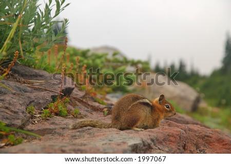 Golden Mantled Ground Squirrel in Mt Rainier National Park, Washington State - stock photo
