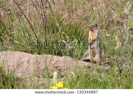 Golden-mantled Ground Squirrel standing by Burrow - stock photo