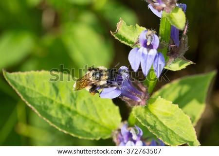 Golden Northern Bumble Bee, Bombus fervidus - stock photo