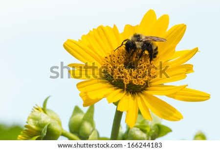 Golden Northern Bumble Bee, Bombus fervidusg - stock photo