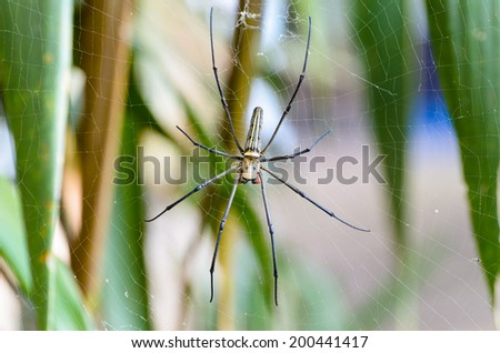 Golden Orb Spider (Nephila pilipes) waiting for prey on webs in the wild, Thailand  - stock photo