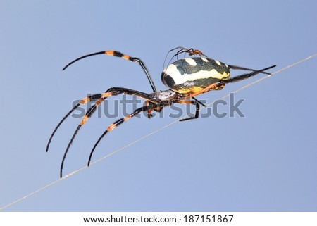 Golden Orb Web Weaver Spider - Insect Background from Africa - Motherly Love of Deadly Baby Animals - stock photo