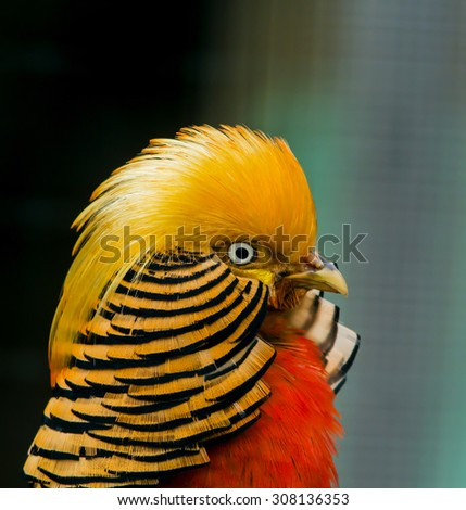 Golden pheasant, Chrysolophus pictu - stock photo