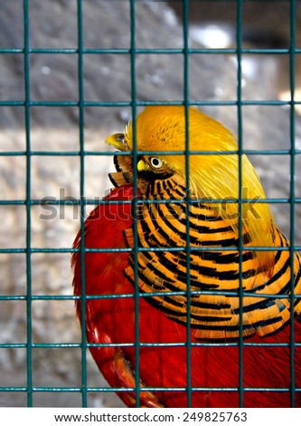 Golden Pheasant (Chrysolophus pictus) behind the bars - stock photo
