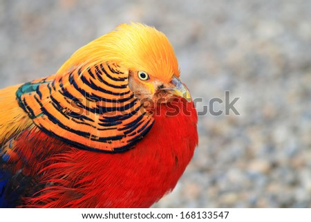 Golden Pheasant (Chrysolophus pictus) in China  - stock photo