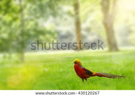 Golden Pheasant (Chrysolophus pictus) walks at London's Royal Botanic Gardens Kew - stock photo