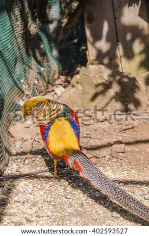 golden pheasant in the nature of the country.  - stock photo