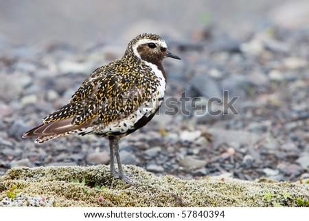 Golden Plover - Iceland - stock photo