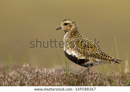 Golden plover (Pluvialis apricaria) adult in breeding plumage Shetland, UK, June. - stock photo
