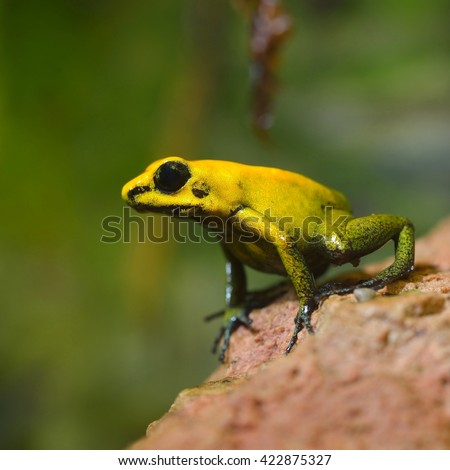 Golden Poison Arrow Frog (Phyllobates terribilis) in natural rainforest environment. Colourful bright yellow tropical frog. - stock photo