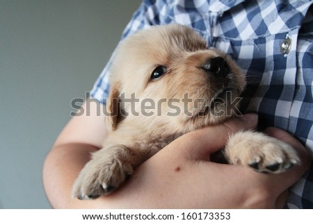 Golden puppy in the embrace of a woman. - stock photo