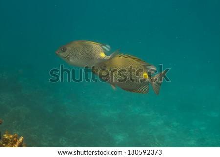 Golden rabbitfish (Siganus guttatus) at Similan island, Thailand - stock photo