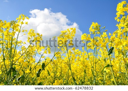 Golden rapeseed blossoms under blue summer sky - stock photo