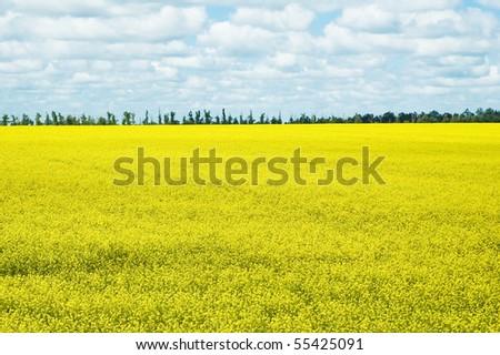 Golden rapeseed field under blue sky - stock photo