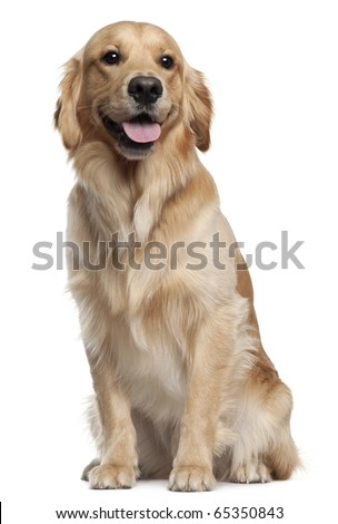 Golden Retriever, 1 and a half years old, sitting in front of white background - stock photo