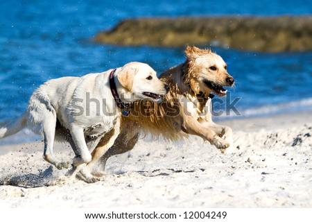 Golden retriever and labrador running on the beach - stock photo