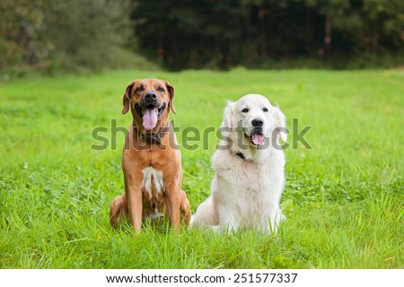 Golden retriever and rhodesian ridgeback sitting together on a meadow  - stock photo