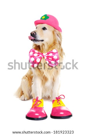 golden retriever as clown on white background - stock photo