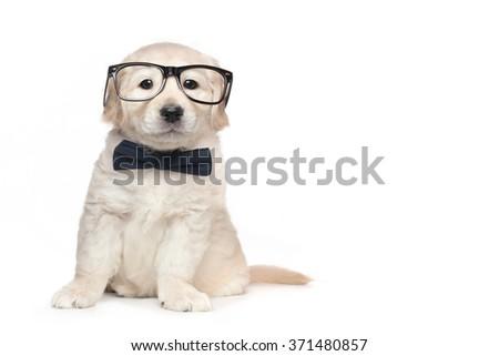 Golden Retriever Cute Puppies - stock photo