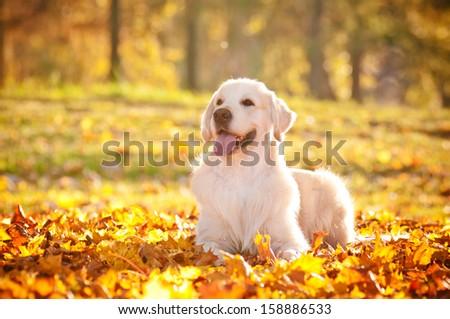 golden retriever dog autumn portrait - stock photo