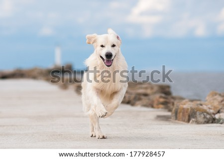 golden retriever dog by the sea - stock photo