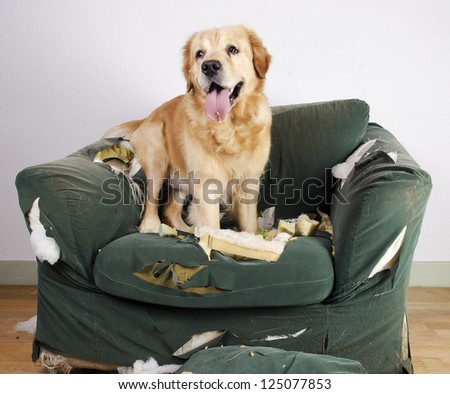 Golden retriever dog demolishes chair - stock photo