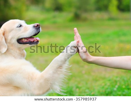 Golden Retriever dog giving paw owner, closeup photo - stock photo