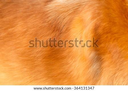 Golden retriever dog hair  - stock photo
