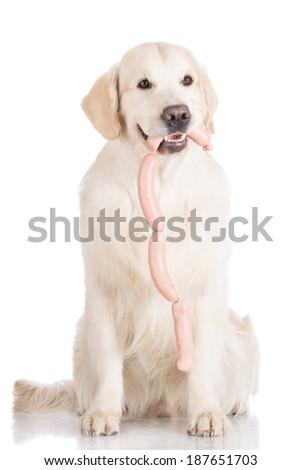 golden retriever dog holding sausages - stock photo