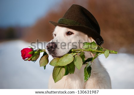 golden retriever dog in a hat holding a rose in his mouth - stock photo