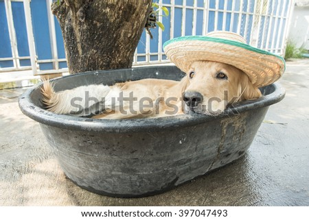 golden retriever Dog in a small pool tired of the summer heat - stock photo