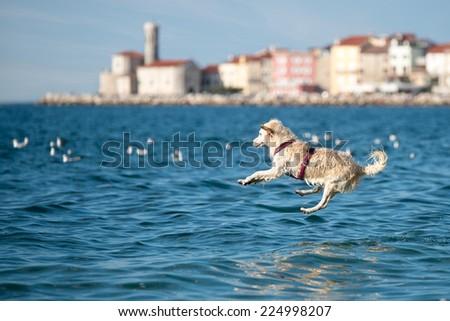 Golden Retriever dog jumping into sea - stock photo