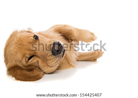 Golden Retriever dog laying down with a grumpy expression on his face.  - stock photo