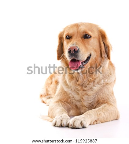 golden retriever dog laying over white background - stock photo
