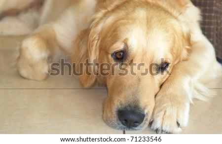 Golden retriever dog lying on the floor - stock photo