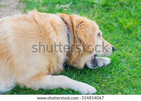 Golden retriever dog on the green - stock photo