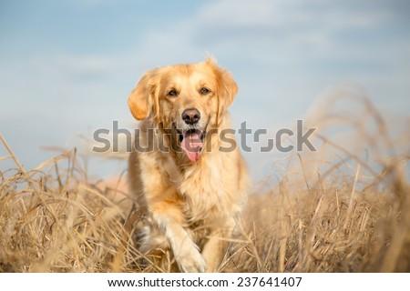 Golden retriever dog outdoor portrait - stock photo