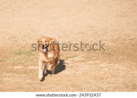 Golden retriever dog running in the field  - stock photo