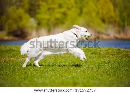 golden retriever dog running outdoors - stock photo