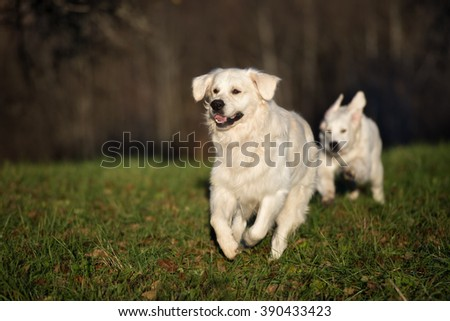 golden retriever dog running outdoors in spring - stock photo