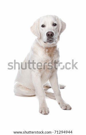 Golden retriever dog sitting, isolated on a white background - stock photo