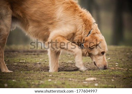 Golden retriever dog sniffing the grass - stock photo