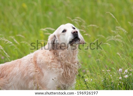 golden retriever dog standing in a field with flowers - stock photo